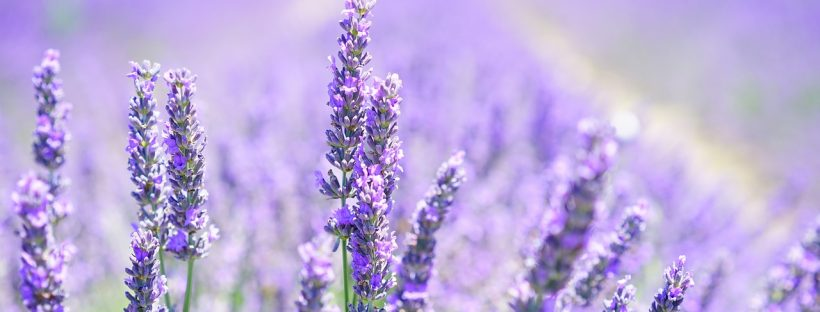keep moth infestation at bay with lavender